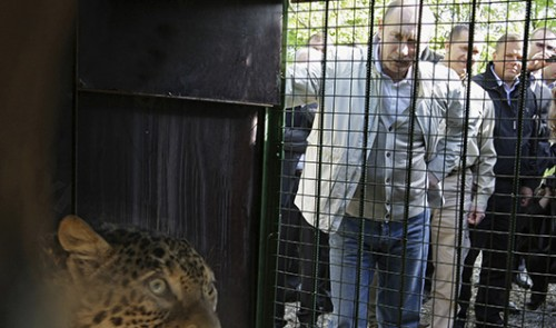 Путин встречает привезенную и Ирана в Сочи самку переднеазиатского леопардаФото REUTERS