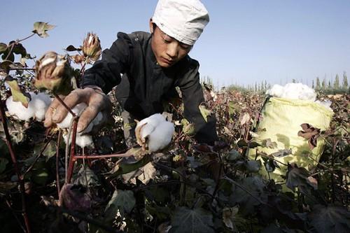 Хлопковое поле в Синьцзян-Уйгурском автономном районе, контролируемое Синьцзянским производственно-строительным корпусом. Фото: Eugene Hoshiko / AP